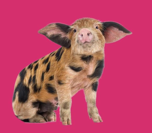schwein pink