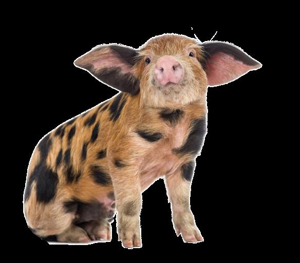 schwein frei